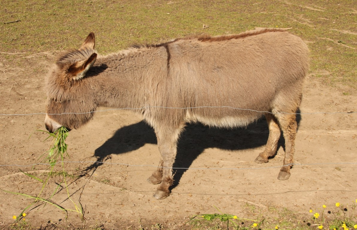 Die Esel am Wegrand erhielten vom Publikum öfter Mal leckeres Heu serviert