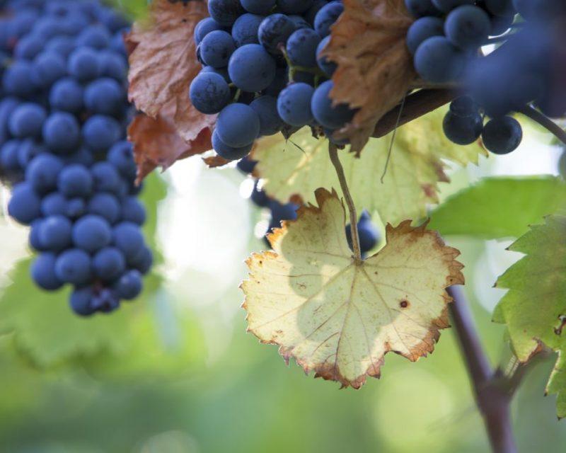 Golfregion Baden-Elsass Wein